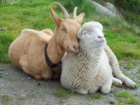 Goat and sheep friends